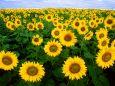 Подсолнечное поле.   цветы.   Параметры оригинала картинки 1024 X 768   515001 byte