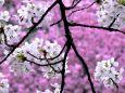 Ветка весенней вишни.   Весна.   Параметры оригинала картинки 1024 X 768   380951 byte