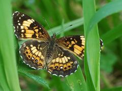 Silvery checkerspot.   бабочки.   Размер 1024 X 768