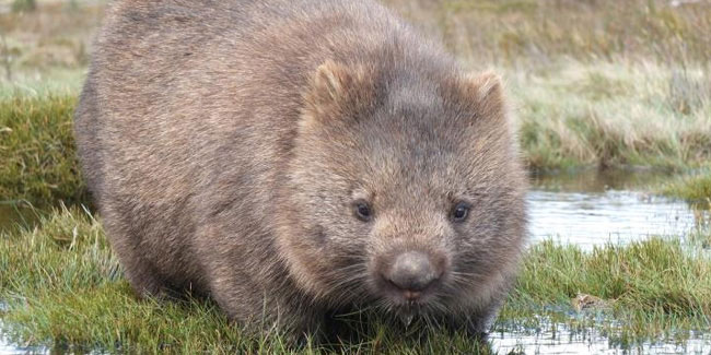 22 October - Wombat Day