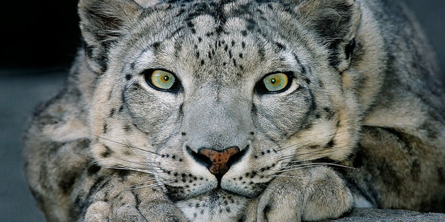 23 October - International Snow Leopard Day
