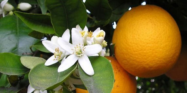 27 June - National Orange Blossom Day in USA