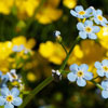 Forget-Me-Not Day