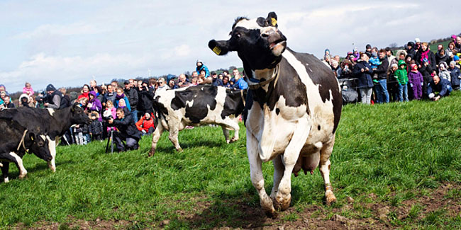 18 April - Dancing Cow Day in Denmark
