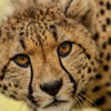 International Cheetah Day
