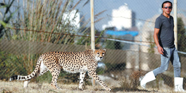 30 August - National Cheetah Day in Iran