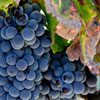 International Grenache Day