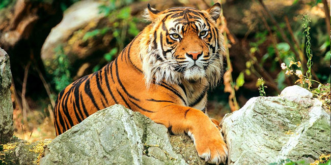 29 July - International Tiger Day or Global Tiger Day