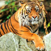 International Tiger Day or Global Tiger Day
