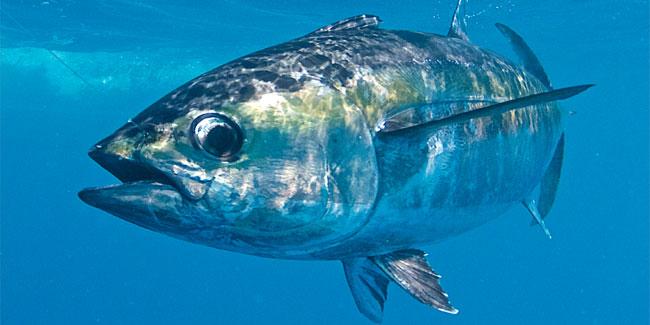 Голубой тунец, тот что плавает с открытым ртом, одна из самых скоростных рыб океана, его скорость достигает 70 км/ч и он вполне может пересечь Атлантику за 30 дней