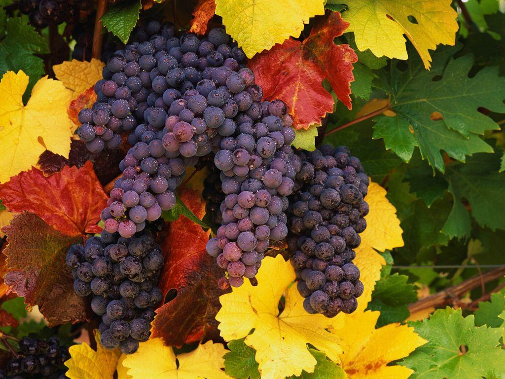 Открытка с урожаем винограда, для