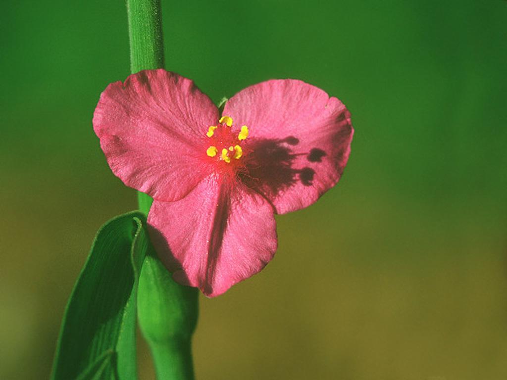 Цветы с тремя лепестками