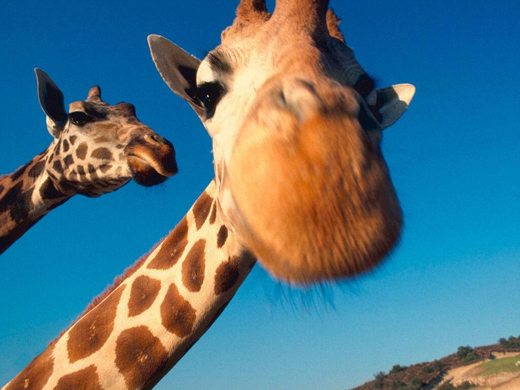 Добрым, приколы про жирафов картинки